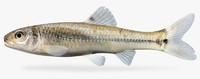 pimephales vigilax bullhead minnow 3d model