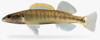 3d fbx percina phoxocephala slenderhead darter
