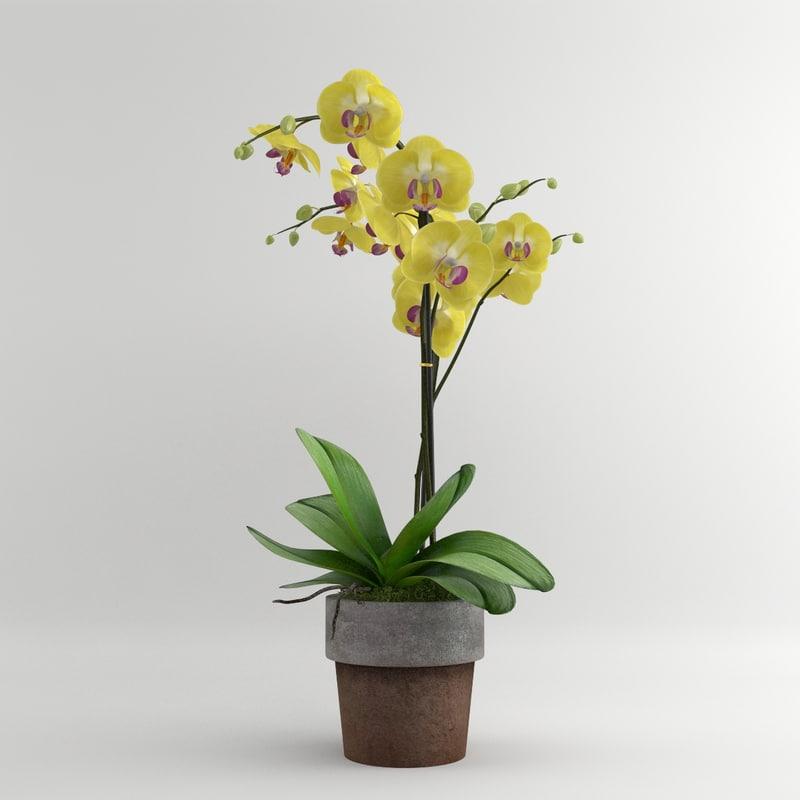 maya orchid yellow moth