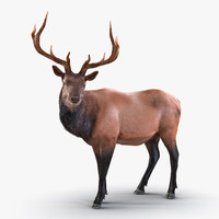 Elk Standing Pose with Fur