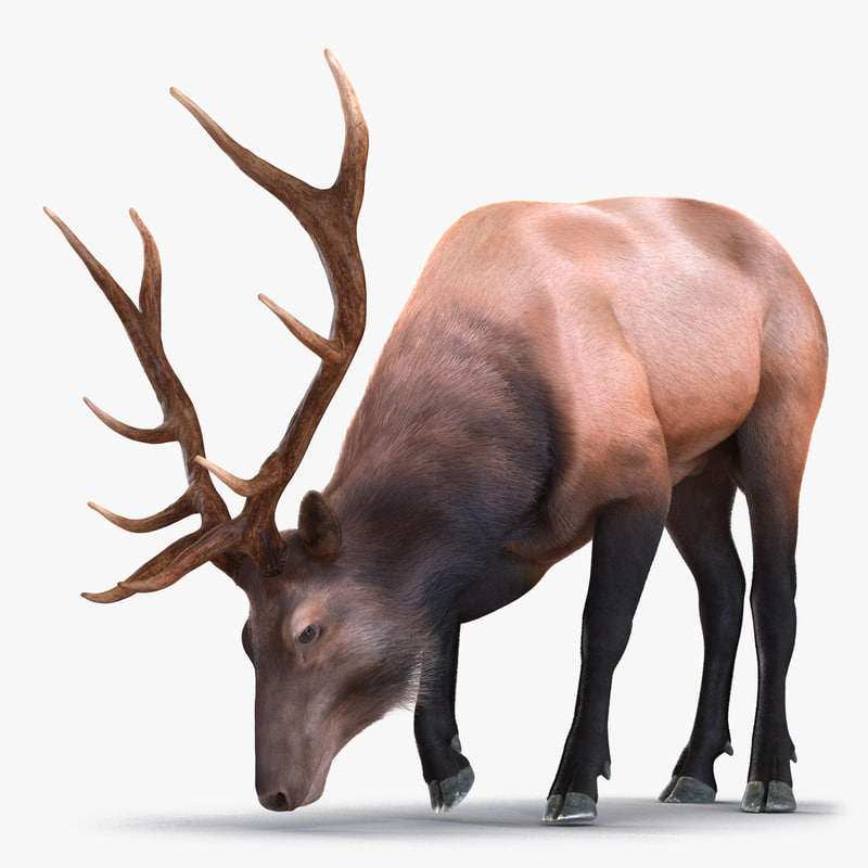 3d elk eating pose fur model