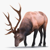 Elk Eating Pose 3D Model with Fur