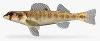3d percina shumardi river darter model