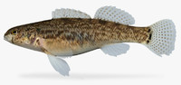 etheostoma crossopterum fringed darter 3d model