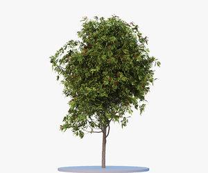rowan-tree seasons 2 3d model