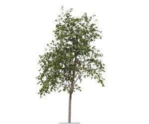 rowan-tree seasons 3d obj