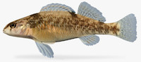 3d etheostoma caeruleum rainbow darter model