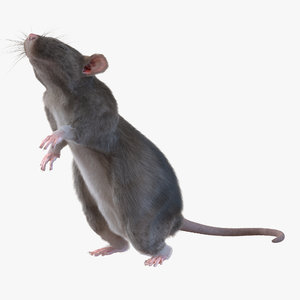 max rat pose 2