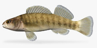 etheostoma camurum bluebreast darter 3d fbx