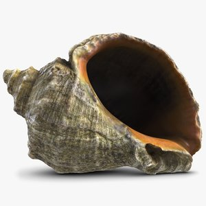 3d model rapana shell