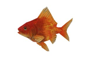 goldenfish fish 3d model
