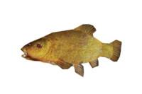 fish tench 3d model