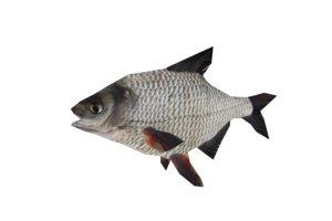 3d fish bream