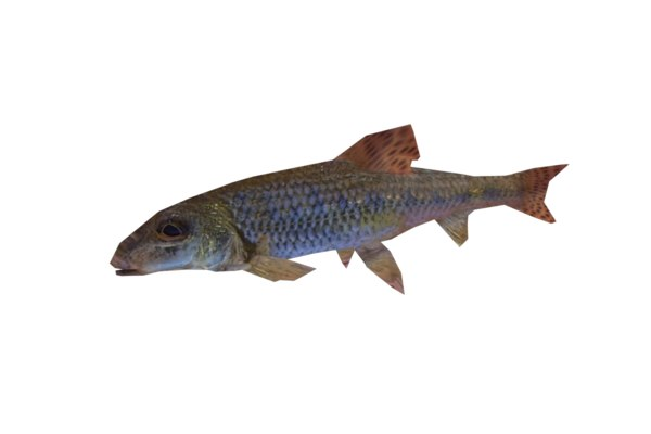 fish minnow 3d model