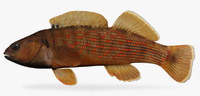 3d model etheostoma camurum bluebreast darter