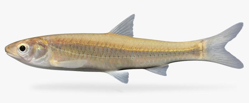 3ds max notropis blennius river shiner