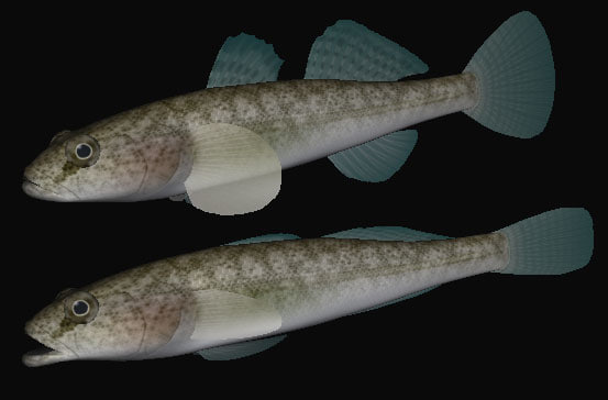 3ds max gymnogobius breunigii swimming