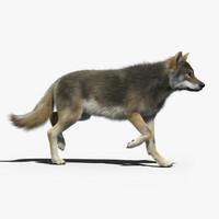 3d gray wolf 2 fur