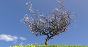 3d model blossoming apricot tree