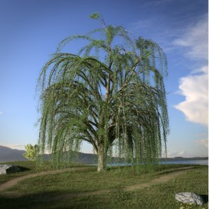 ma weeping willow