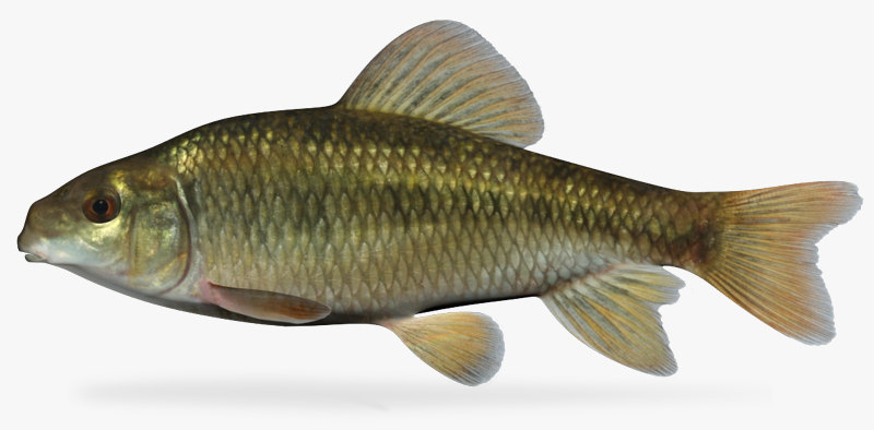 3d model erimyzon sucetta lake chubsucker