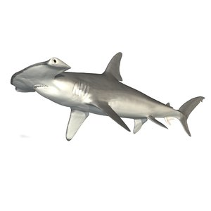 female smooth hammerhead shark 3d model