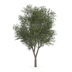 max austrian oak tree quercus