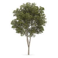 3d model austrian oak tree quercus