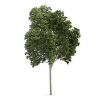austrian oak tree quercus 3d c4d