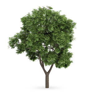 3d model sycamore maple tree acer
