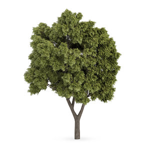 3d sycamore maple tree acer model