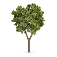 white ash tree fraxinus 3d max
