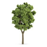3d white ash tree fraxinus