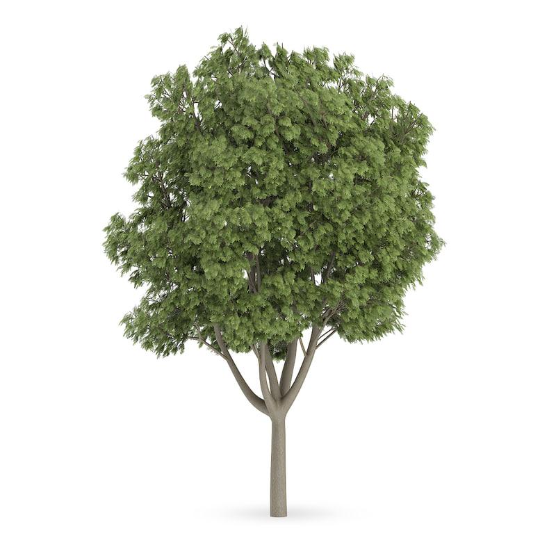 common ash tree fraxinus 3d model