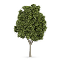 3d model common ash tree fraxinus