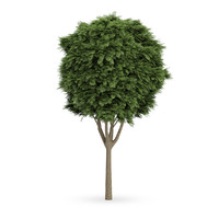 3d common ash tree fraxinus model
