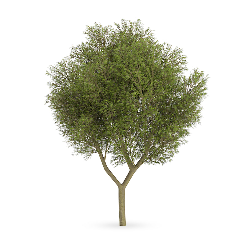 3d honey locust tree gleditsia