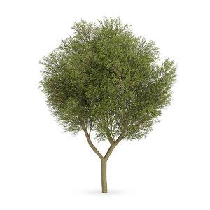 3d honey locust tree gleditsia