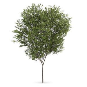 max common beech tree fagus