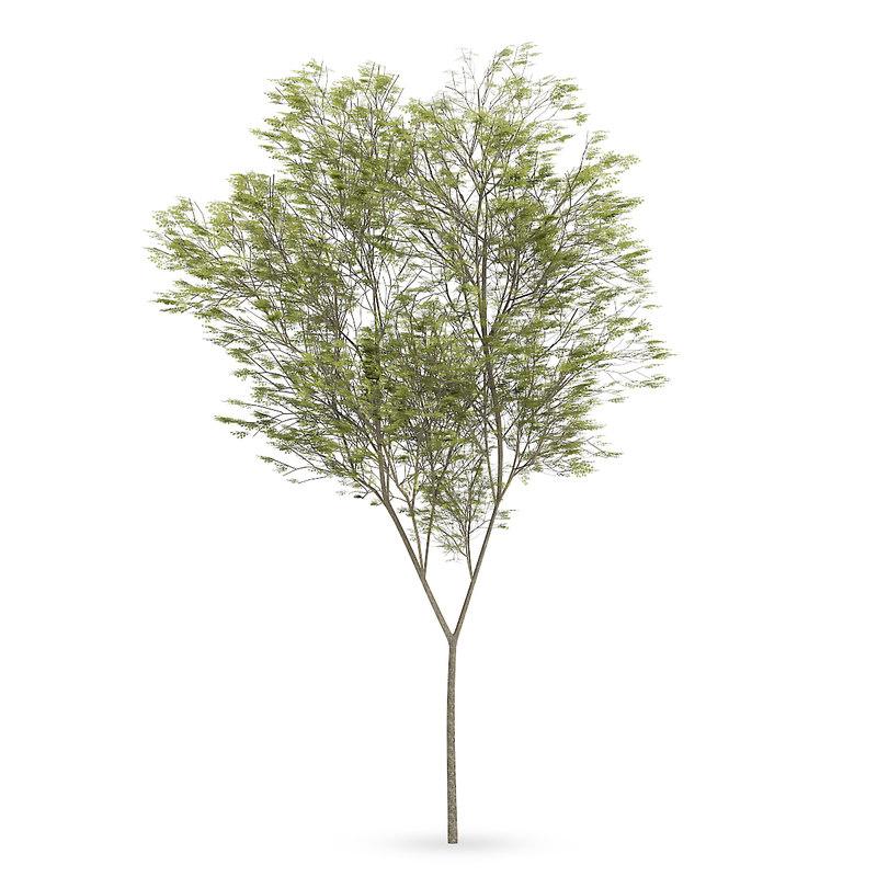3d common beech tree fagus model