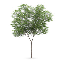 common beech tree fagus 3d max