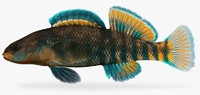 etheostoma caeruleum rainbow darter 3d fbx