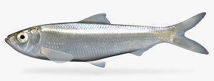 3d alosa chrysochloris skipjack herring