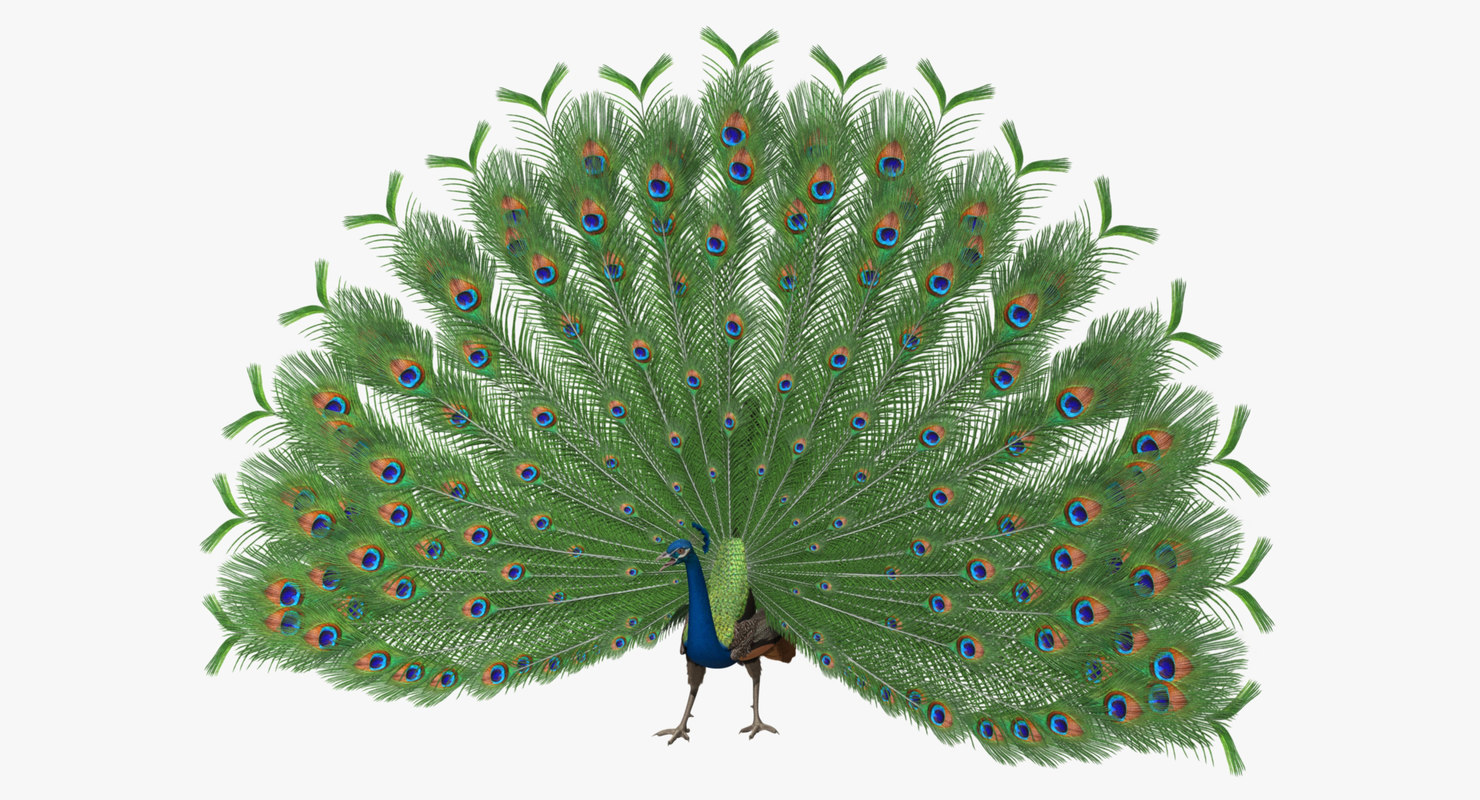 pavo cristatus indian peacock obj