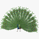 "Pavo Cristatus ""Indian Peacock"