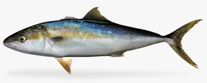 maya yellowtail