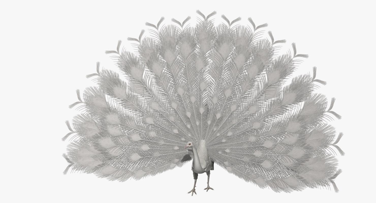 pavo cristatus indian peacock obj
