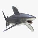 whitetip shark 3D models