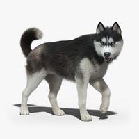siberian husky fur rigged 3d max