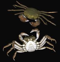 Japanese mitten crab
